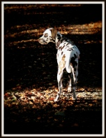 CastellCoch in Autumn Dog